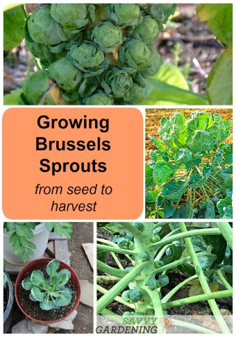 Growing brussels sprouts; from seed to harvest