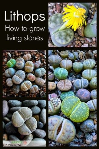 How to grow and care for lithops plants.