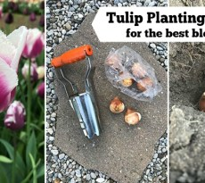 The right tulip planting depth for the best blooms