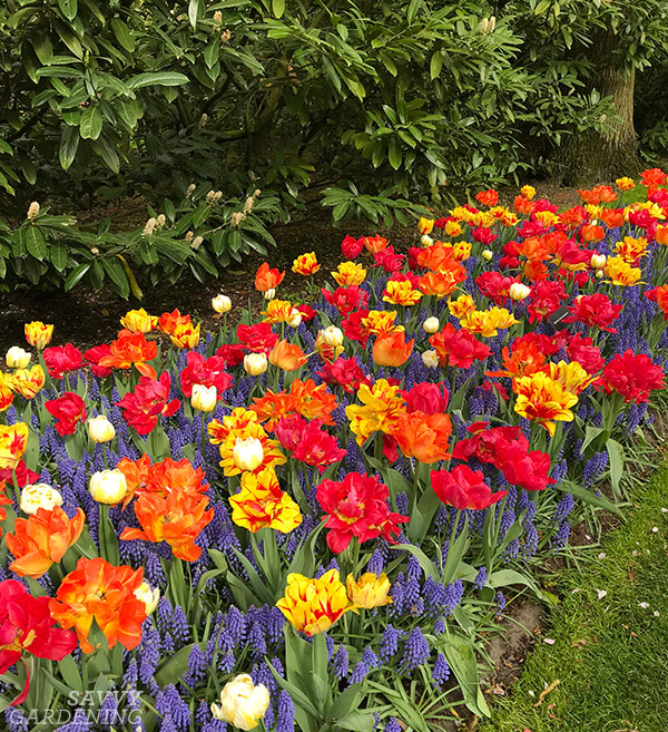 A bulb border planted with tulips and muscari.