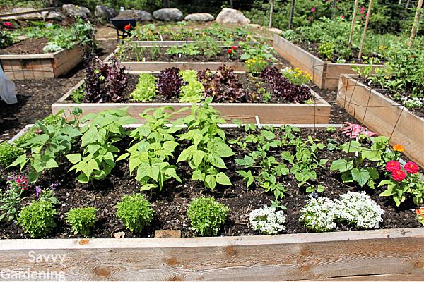 Heirloom varieties make excellent garden plants