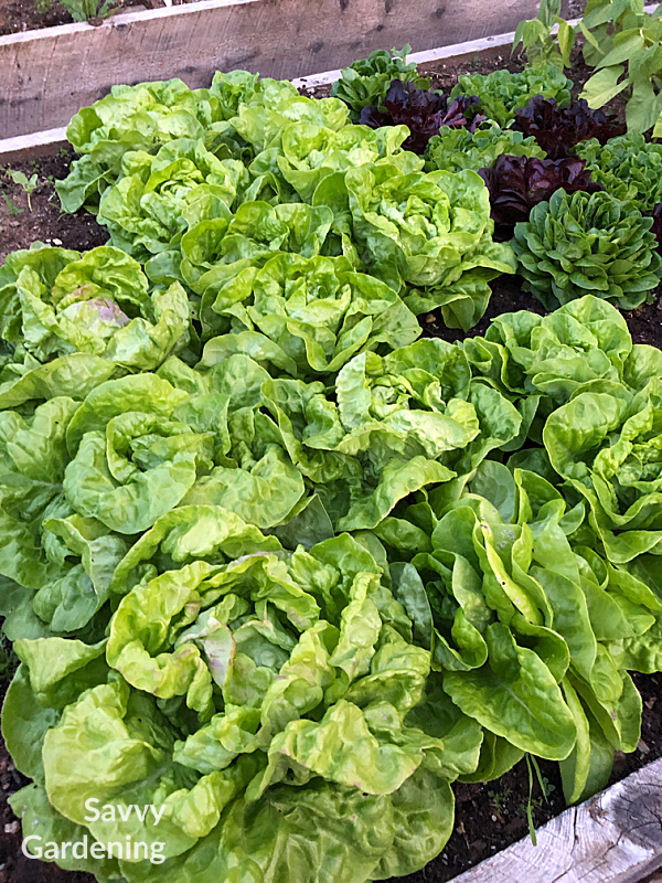 May Queen heirloom lettuce in a raised bed.