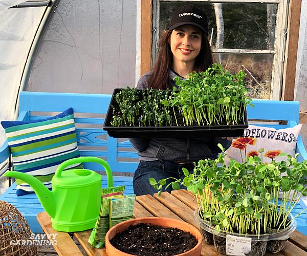 Niki Jabbour planting pea shoots