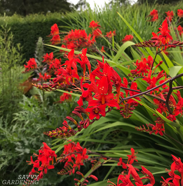 The showstopping blooms of crocosmia.