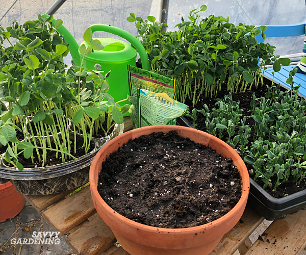 how to plant pea shoot seeds