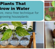Discover the best houseplants to grow in water