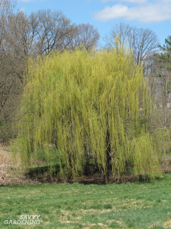 Everyone loves a willow tree
