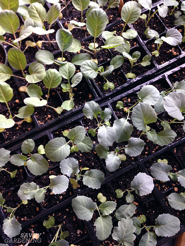 seedlings ready to be planted in the garden