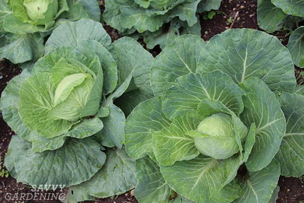 choosing varieties of Brassica oleracea