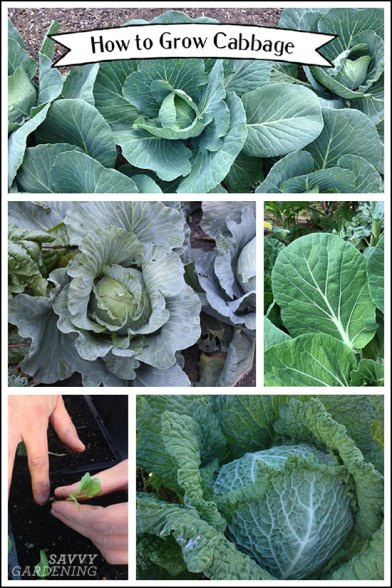 Growing cabbage from seed to healthy heads