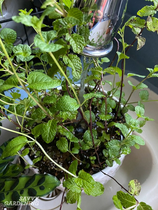How to water an indoor mint plant