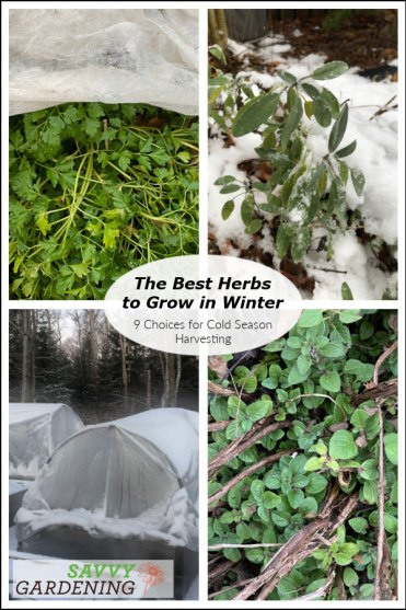 Discover the best herbs to grow in winter