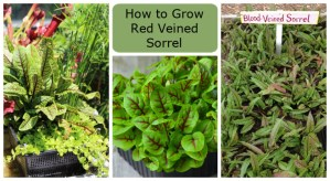 How to grow red veined sorrel