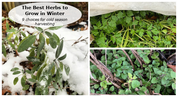 Herbs to grow in winter: 9 choices for cold season harvesting