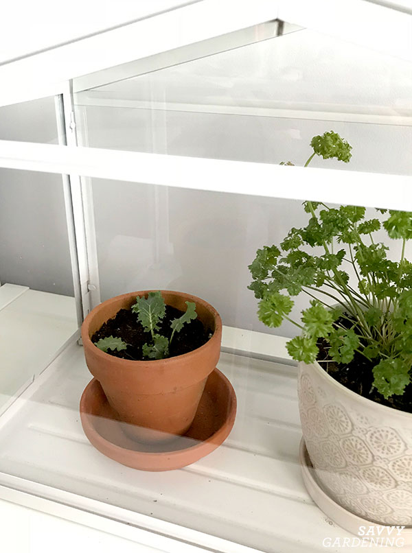 small kale plant in a mini indoor greenhouse