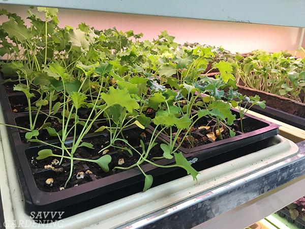 kale seedlings under grow lights