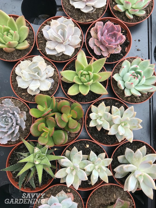 Types of low light succulents to grow