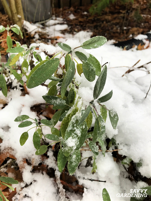 Sage is a beautiful and aromatic herb to harvest in winter