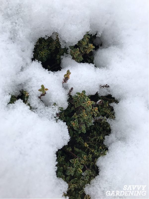 Thyme plant growing under the snow