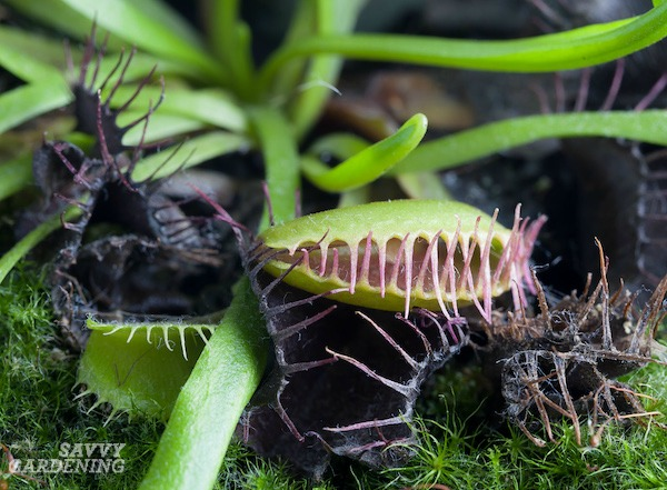 Growing Venus fly traps