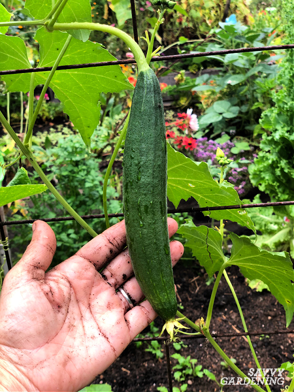 young gourd in garden
