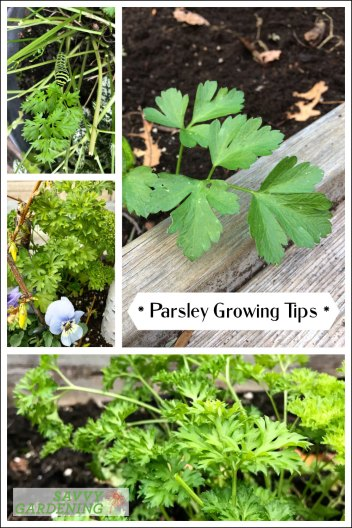 Parsley growing tips: Harvest this flavourful herb and kitchen staple all year round