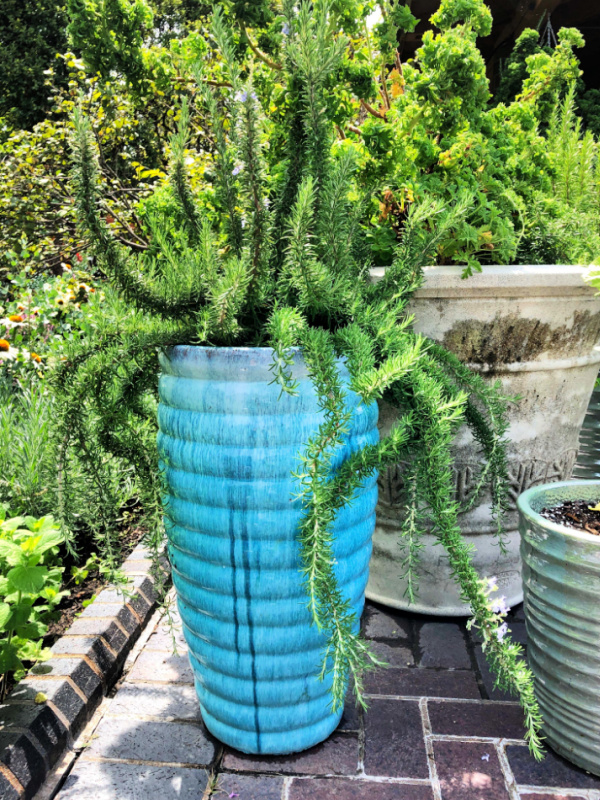 rosemary plant in a container