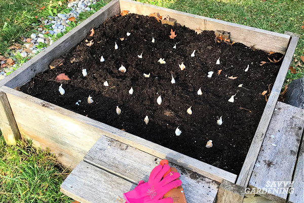 Garlic cloves should be planted six inches apart and two to three inches deep. Planting in a grid formation maximizes use of the growing space.