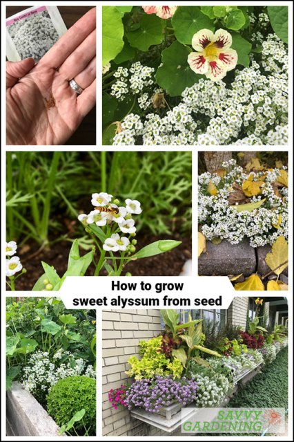 how to grow sweet alyssum from seed