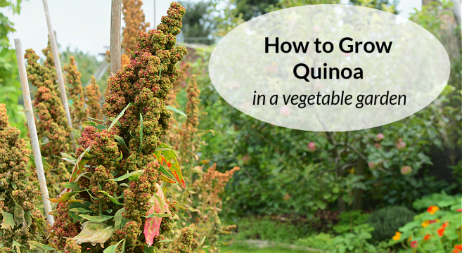 learn how to grow quinoa in a garden