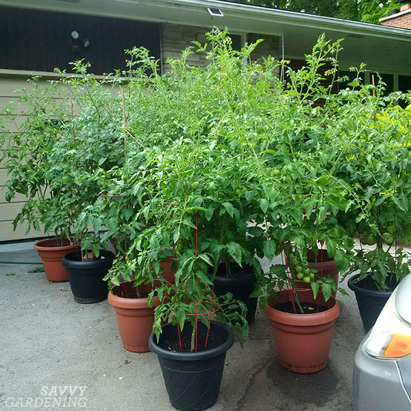 Containers of tomato plants on a driveway