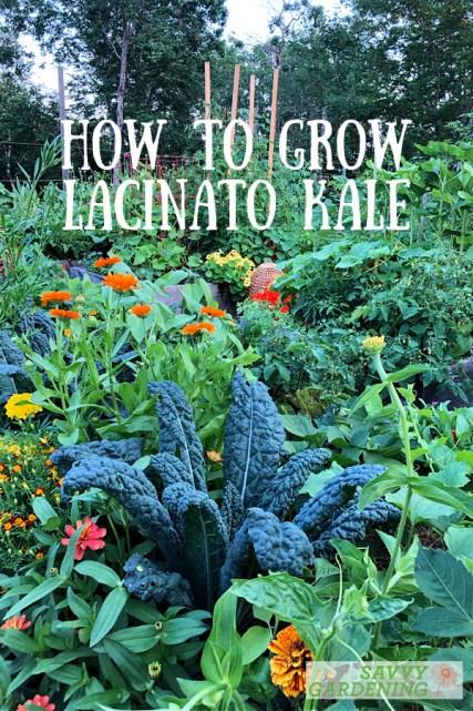 how to grow lacinato kale
