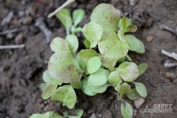 Growing romaine lettuce in a home garden.