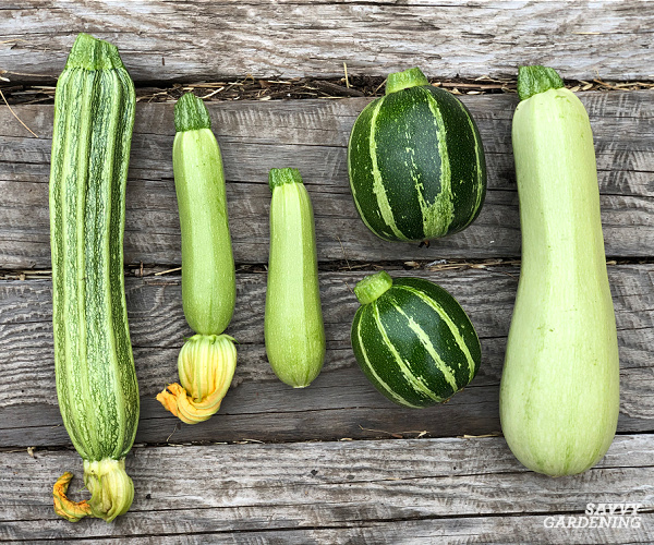 types of summer squash