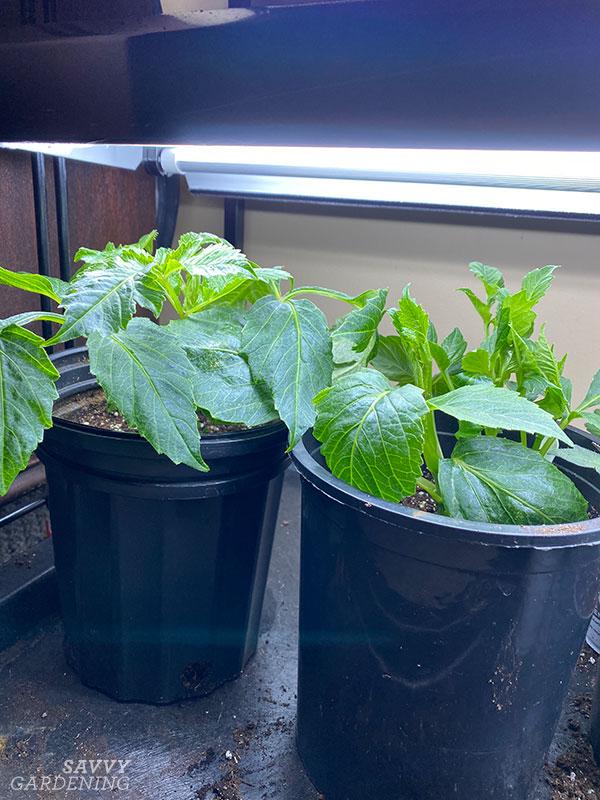 dahlias under grow lights