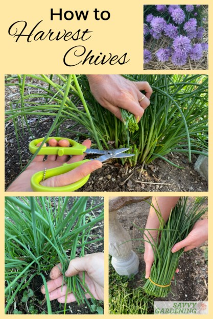 How to harvest chives from the garden or container plantings