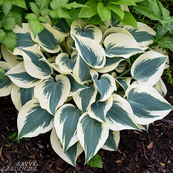 Hosta 'Blue Ivory' in a garden