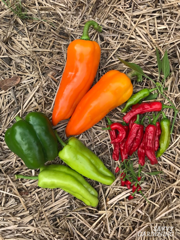 Different types of peppers from the garden