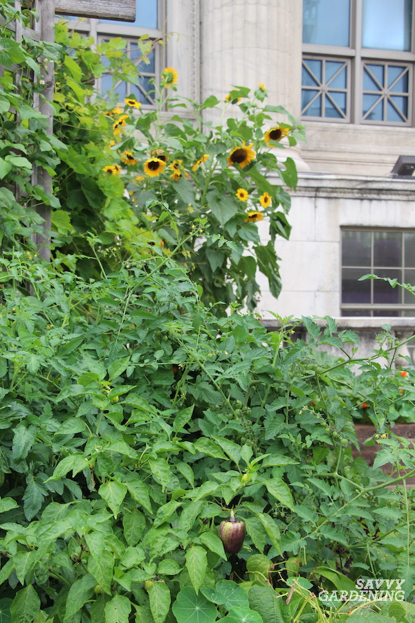 Sunflowers as a plant partner for peppers to enhance biological control