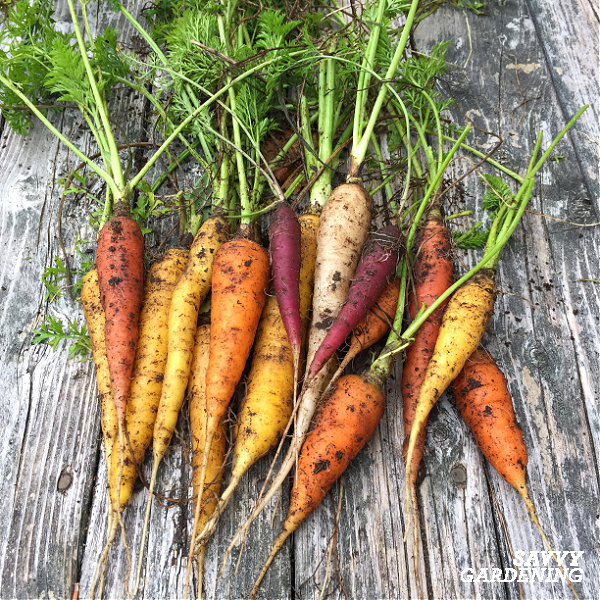 rainbow carrot harvest