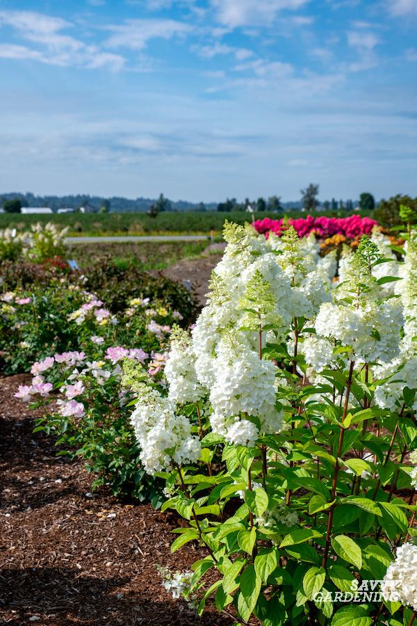 The best hydrangeas for the garden
