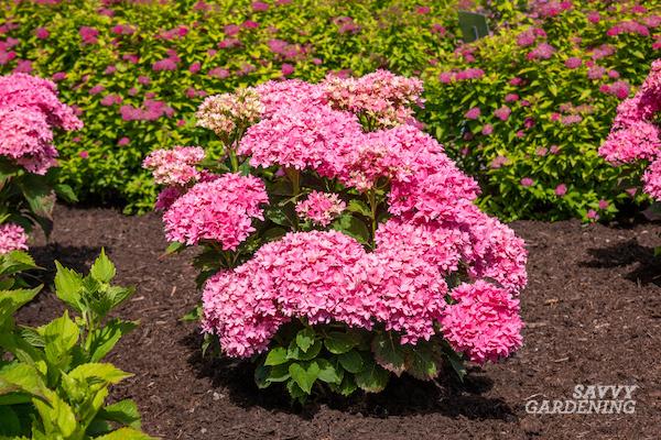 Unusual hydrangea varieties to plant in your landscape