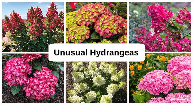 Unusual hydrangea varieties
