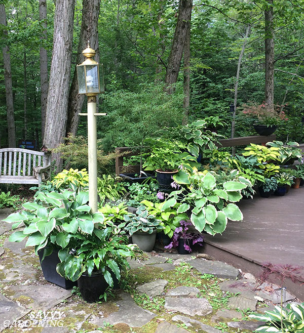 A grouping of hostas in pots