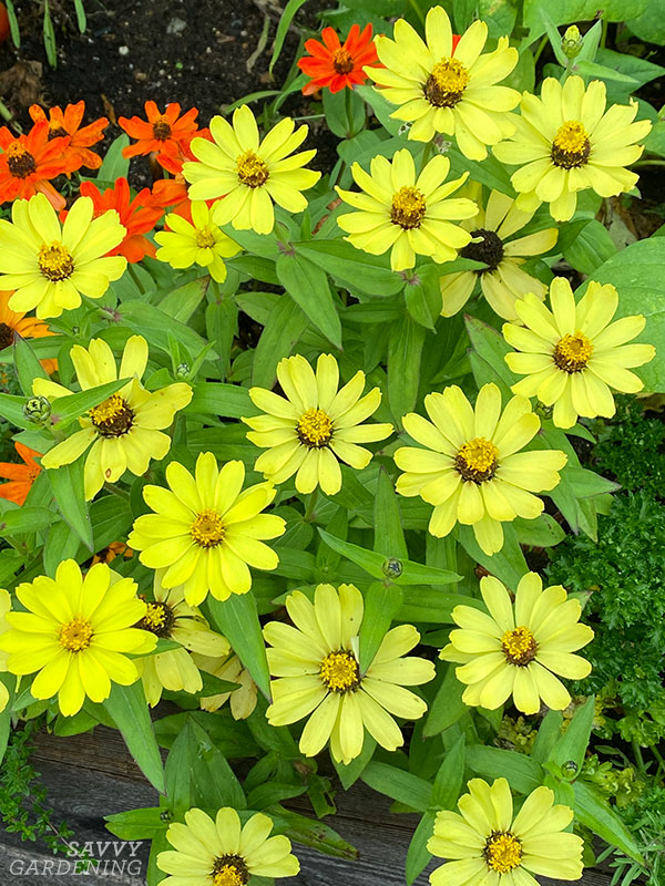 Zinnia Profusion Lemon in a raised bed
