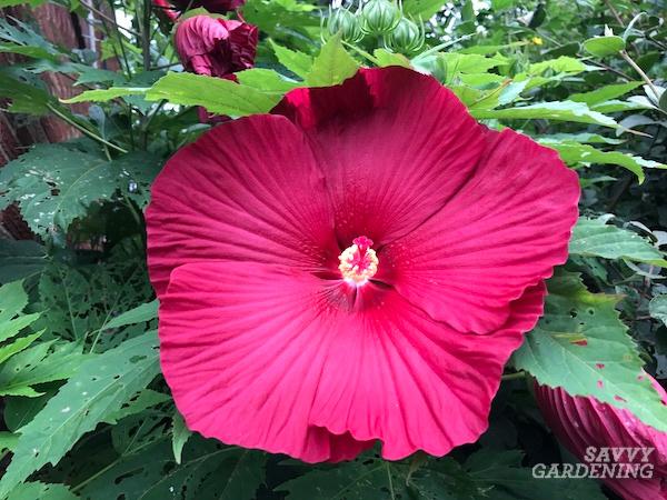 How to grow hardy hibiscus plants