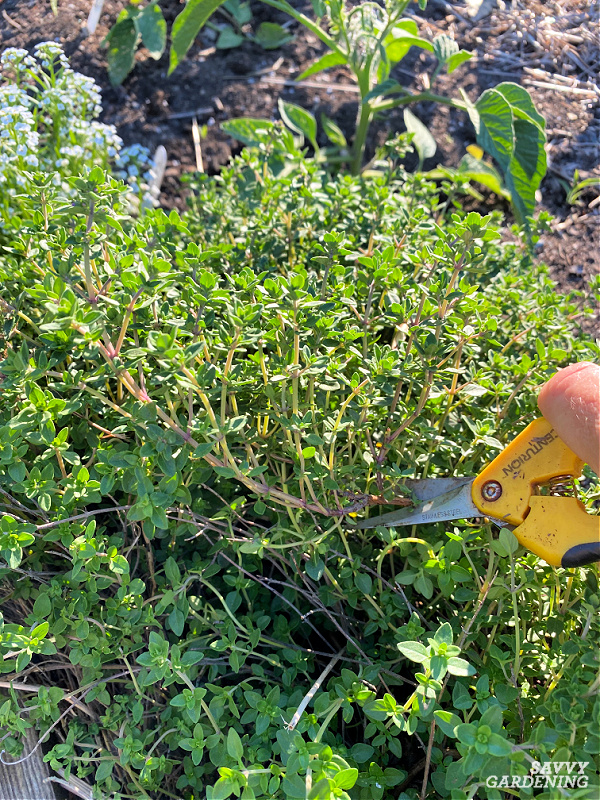 Harvest woody herbs like thyme with herb snips or pruners