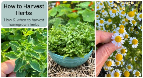 Learn when and how to harvest herbs