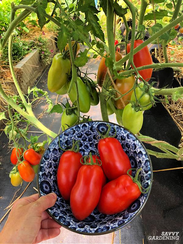 tomato plant in a garden