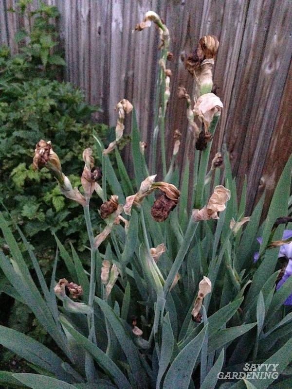 How to deadhead irises